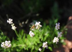 Kranjska čebela. Foto: A. Jerin, 2010