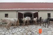 Lipizzan horses. Photo: O. Černe, 2016