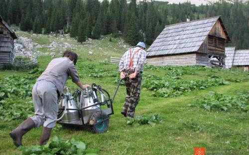 Planinska paša in predelava mleka.