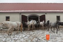 Lipizzaner horses at the Lipica Stud Farm. Photo: O. Černe, 2016.